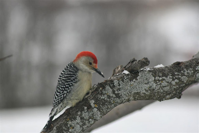 Red-bellied Woodpecker (Robert Latham)