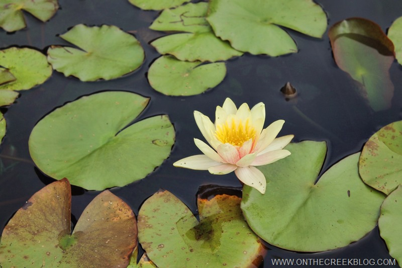 lily pads with a yellow flower