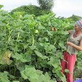 Okra's oogsten