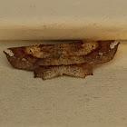 Deep Yellow Euchlaena Moth