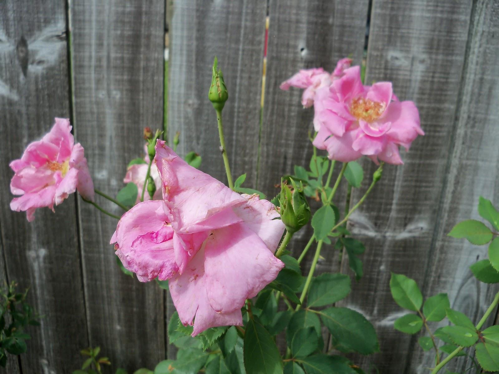 Gardening 2010, Part Three - 101_3642.JPG