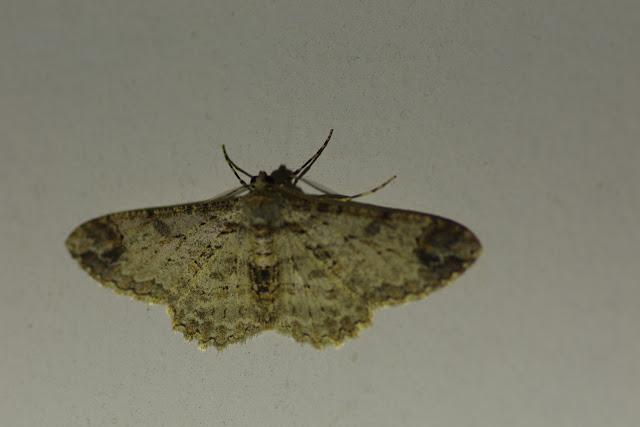 Ennominae : Iridopsis oberthuri Prout, 1932. Choachi, 1850 m (Cundinamarca, Colombie), 10 novembre 2015. Photo : J.-M. Gayman