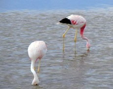 [flamingos-laguna-chaxa--3]