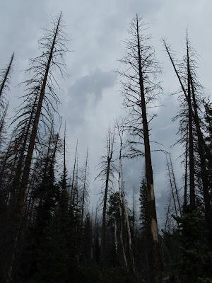 Dark skies over dead trees