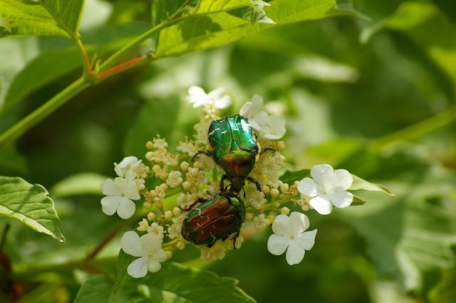 Cetonia aurata L., 1758. Hautes-Lisières (Rouvres, 28), 8 mai 2011. Photo : J.-M. Gayma