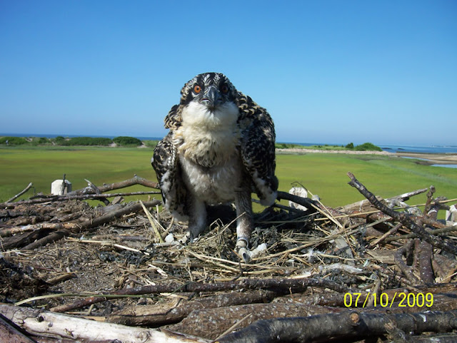 Osprey Banding - Pictures%2B058.jpg
