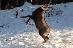 GOLDORAK-2  Pendant la saison du rut, en novembre, les boucs sont si énervés qu'ils en arrivent à de drôles de danses !