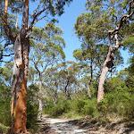 Tall trees beside Thommos Loop trail (381389)