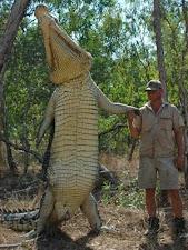 crocodile_harvesting_3L.jpg