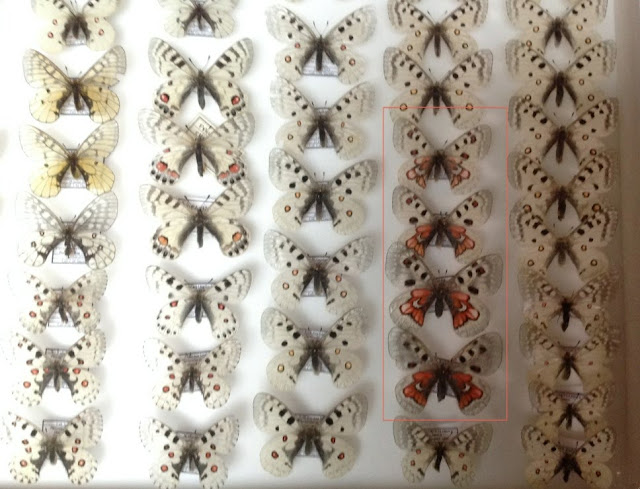 Parnassidae - parnassinae.jpg