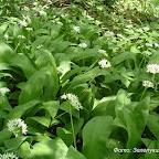 Растения Правобережной нагорной дубравы 009.jpg