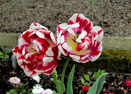 17050696 May 21 Double Bloom Red White Tulips