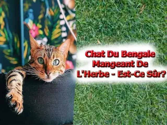 Chat Du Bengal Mangeant De L'Herbe - Est-Ce Sûr?