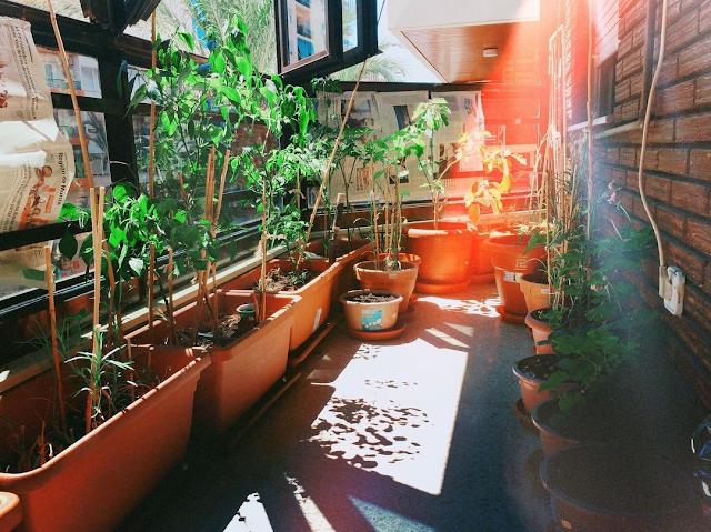 Se ve un recinto acristalado, con las ventanas abiertas, lo que antes fuera balcón y ahora está cerrado al exterior. Crecen en macetas diversas plantas que se aguantan con varitas de madera.