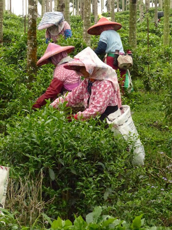 Puli, Nantou county, cueillette de thé - P1050544.JPG