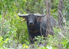 Nice buffalo bull at Carmor Plains, standing on the edge of the bush/safety.