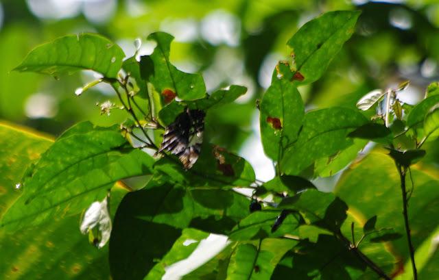 Hypna clytemnestra negra FELDER & FELDER, 1862. Tunda Loma à Calderon (Esmeraldas), 6 décembre 2013. Photo : J.-M. Gayman