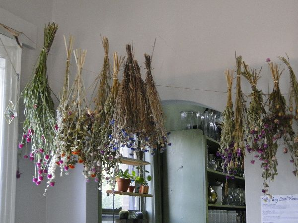 Garden flowers hanging up to dry, the Camellia