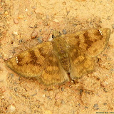 Pyrginae : Nisoniades sp. : (probablement) Nisoniades bipuncta (SCHAUS, 1902). Pitangui (MG, Brésil), 18 mai 2013. Photo : Nicodemos Rosa