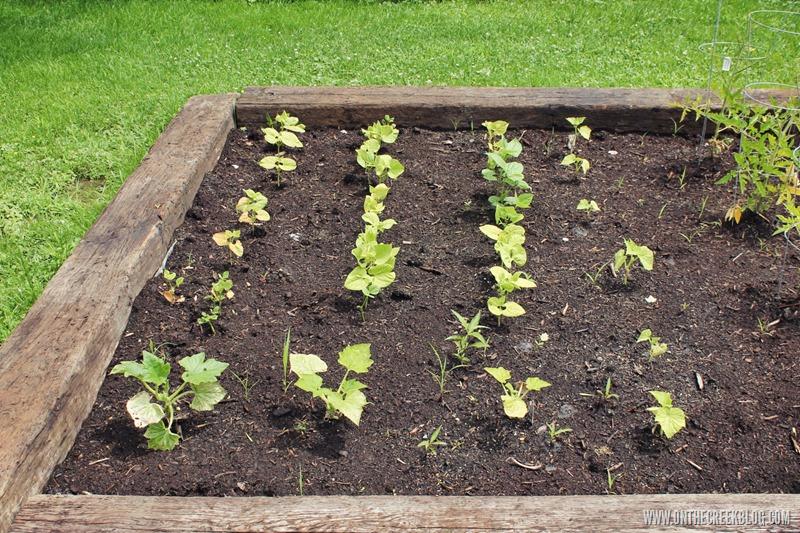 Green beans & squash plants in raised garden