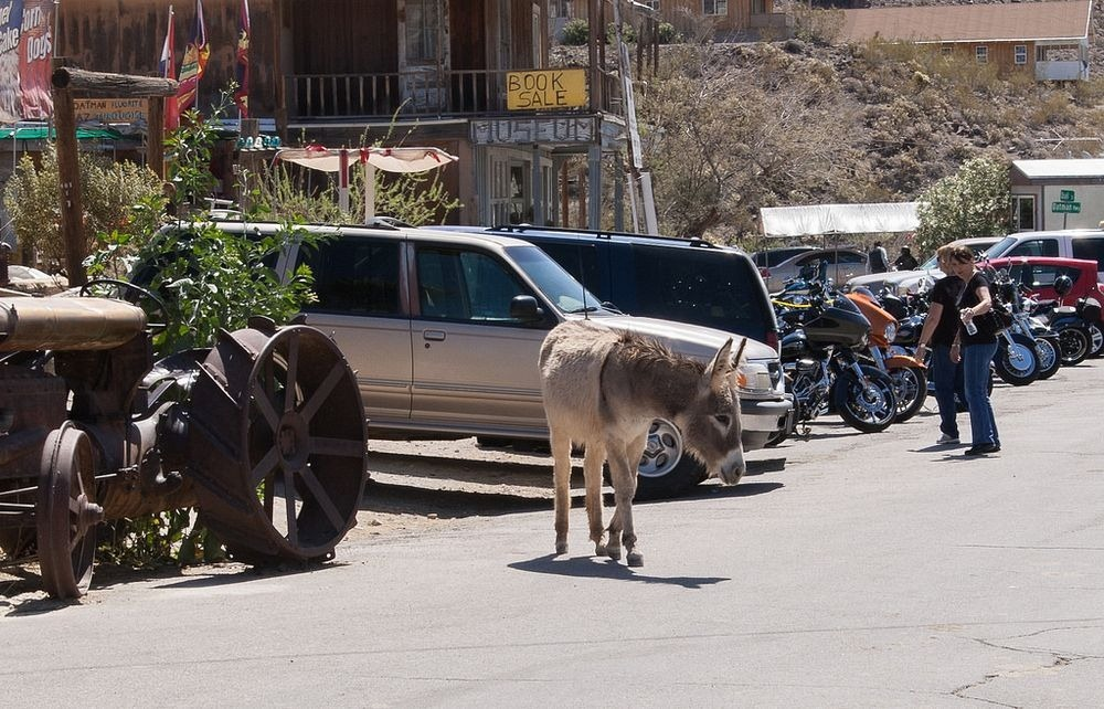 burros-oatman-3