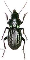 Megadromus bullatus. Photo: BE Rhode. Citation: Larochelle A, Larivière M-C, Rhode BE 2004-2011. Checklist of New Zealand ground-beetles (Coleoptera: Carabidae) - Image gallery. The New Zealand Carabidae, NZC 01.