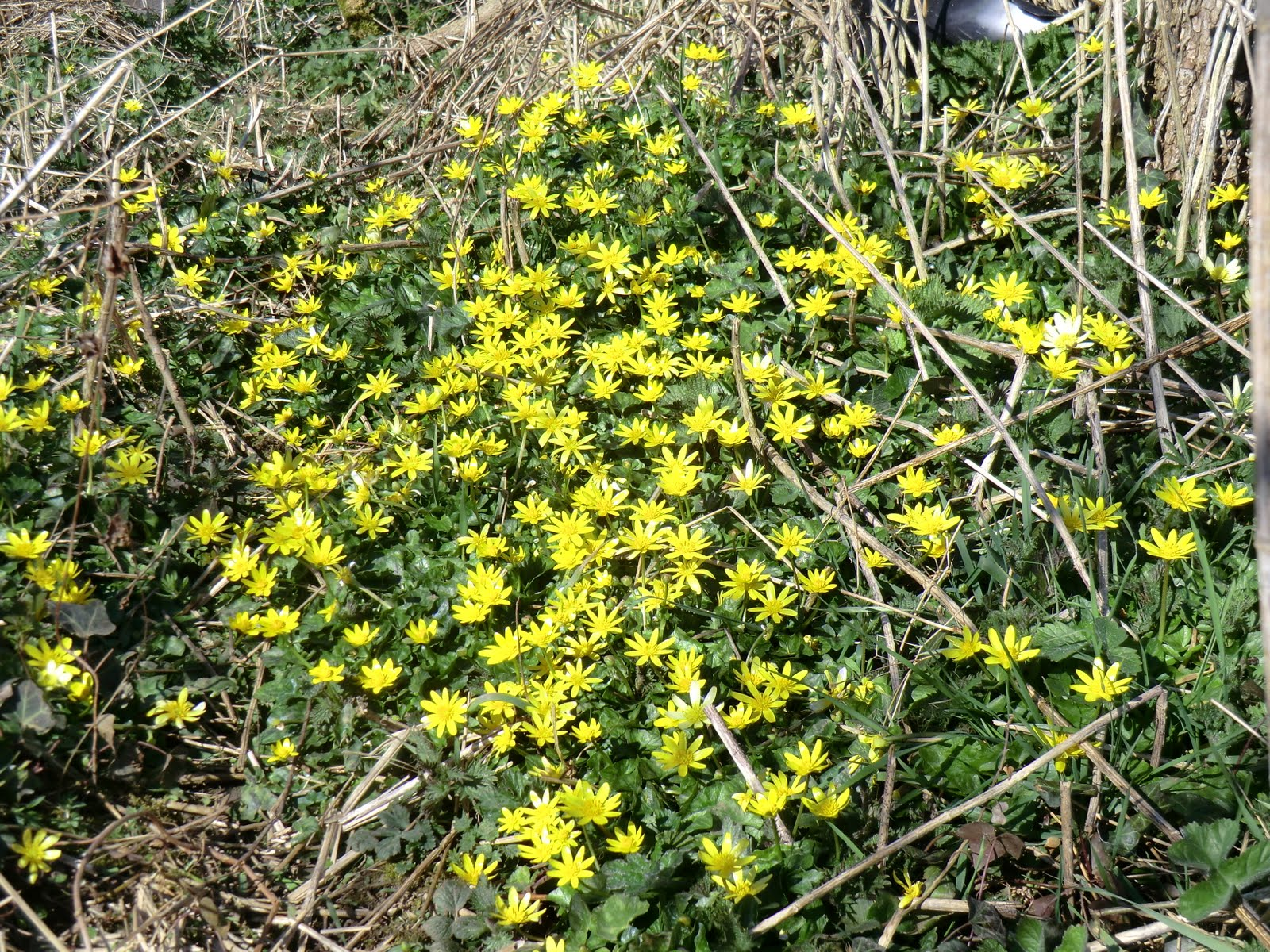 CIMG9996 Lesser celandines by Chipstead Lane