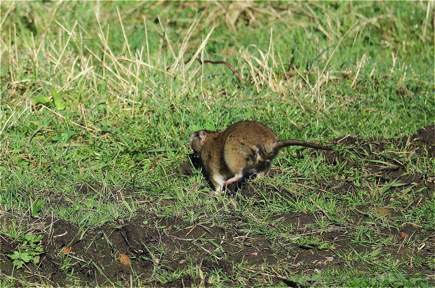 Rat02
