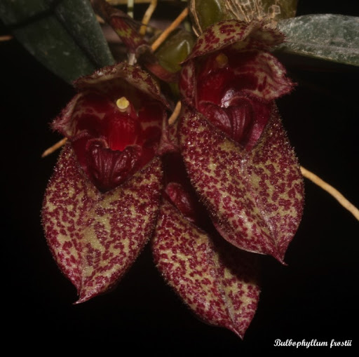 Bulbophyllum frostii IMG_6040b%2520%2528Medium%2529