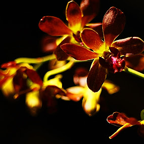 Morning Orchid by Jonathan Herdioko - Nature Up Close Flowers - 2011-2013