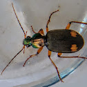 Orange spotted ground beetle.