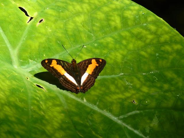 Adelpha heraclea heraclea (C. Felder & R. Felder, 1867). Bosque Bavaria (Villavicencio, Meta, Colombie), 24 novembre 2015. Photo : J. Michel