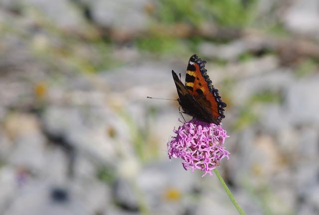 Aglais urticae (L., 1758). Lagarde d'Apt, 1200 m (Vaucluse), 28 juin 2015. Photo : J.-M. Gayman