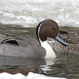 Northern Pintails - male and female