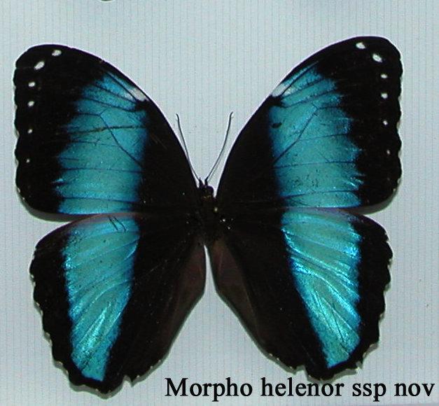 Morpho helenor lacommei ssp. nova, mâle, Tingo Maria, Pérou