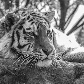 Tiger by Garry Chisholm - Black & White Animals ( big cat, garry chisholm, nature, tiger, black and white, wildlife )