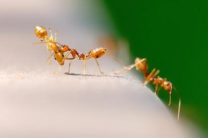 चींटियों की फ़ौज ने किया नदी पार