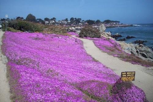 Monterey Lavender.jpg