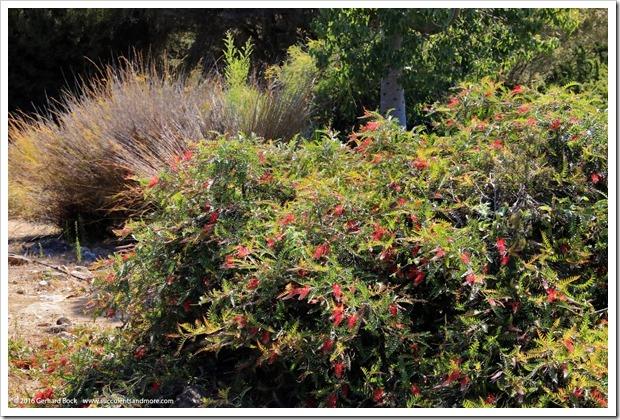 160813_UCSC_Arboretum_Grevillea-Boongala-Spoonbill_002