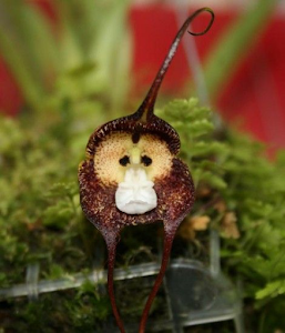 orhideea maimuta