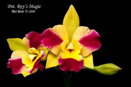 Растения из Тюмени. Краткий обзор - Страница 7 Pot%252520Roy%252527s%252520Magic1