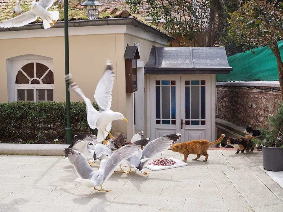 Seagulls are fighting a cat over fish