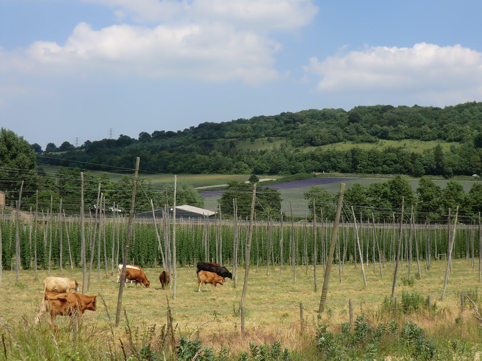 CIMG7496 Cattle, hops and lavender at Castle Farm