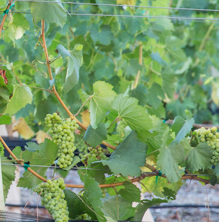 photo of grapes in the vineyard
