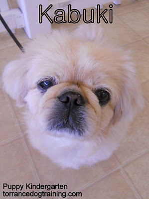 Kabuki the 3 year old Pekingese