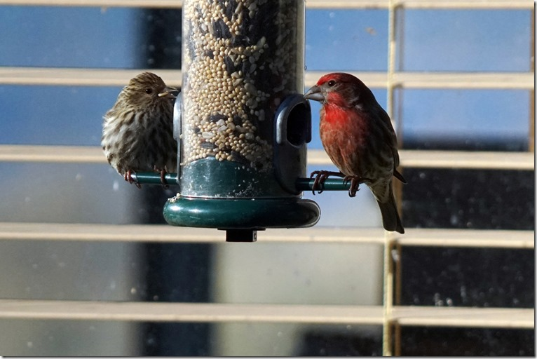 lopez house finches 031118 00000