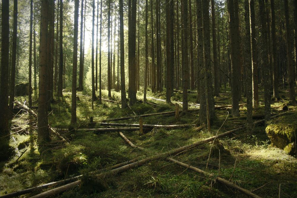 Las w Dolinie Roztoki