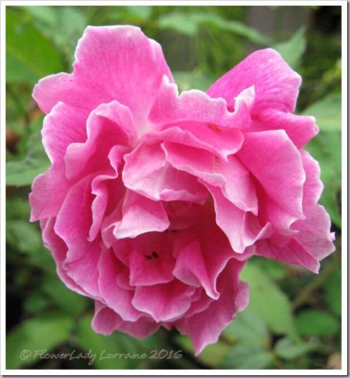 12-15-carnation