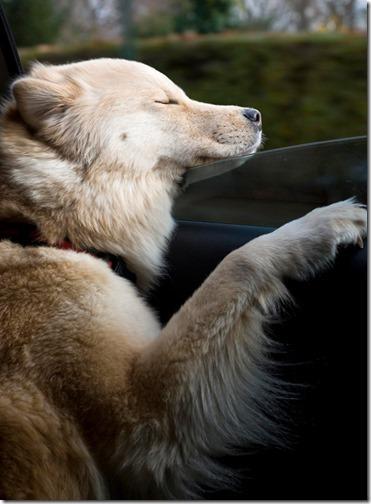 perros asomads a la ventanilla del coche (12)