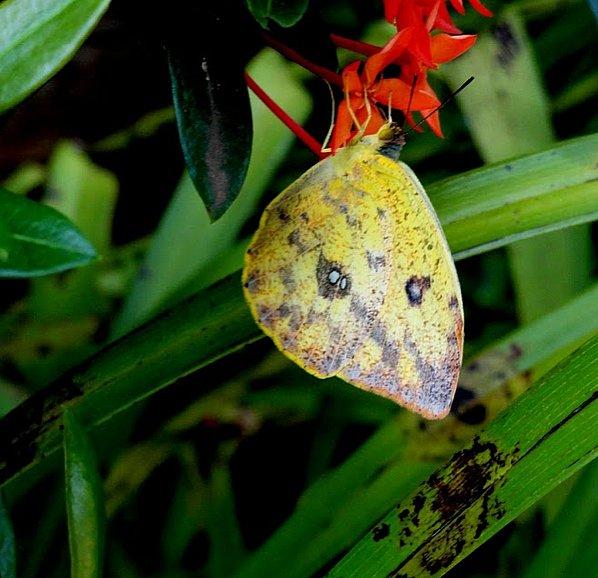 Phoebis argante argante (FABRICIUS, 1775), femelle. Dracena, (São Paulo, Brésil), janvier 2011. Photo : Cidinha Rissi